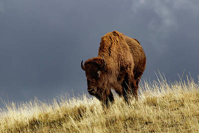 Bison Photograph - Bison In Fall, Lamar Valley by Adam Jones