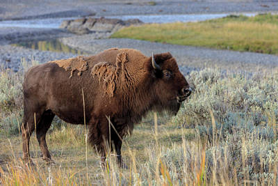 Bison Photograph - Bison In Front Of Yellowstone River by Tom Norring