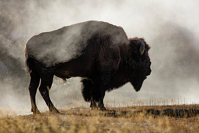 Bison Photograph - Bison In Mist, Upper Geyser Basin by Adam Jones