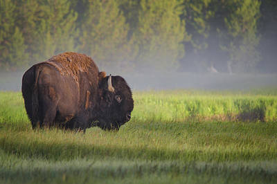 Yellowstone Park Photograph - Bison In Morning Light by Sandipan Biswas