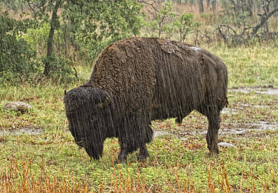 Bison In Rain Art Print