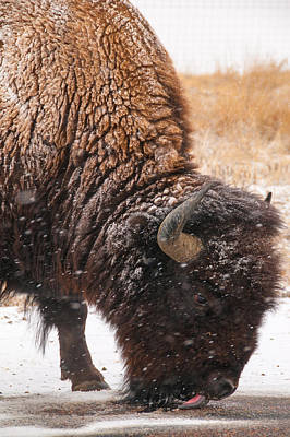 Photograph - Bison In Snow_1 by Tom Potter