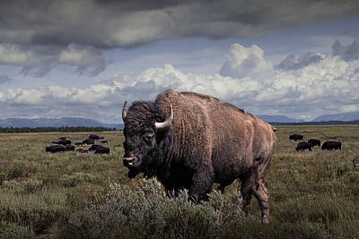 Bison In The Grand Tetons Art Print