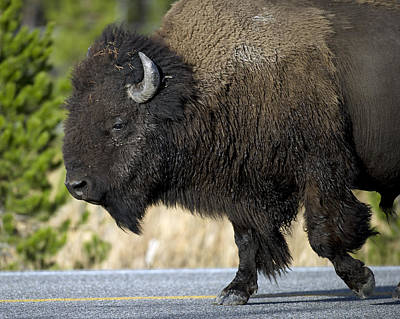Bison Photograph - Bison In The Passing Lane by Gary Langley
