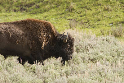 Photograph - Bison by Jack R Perry