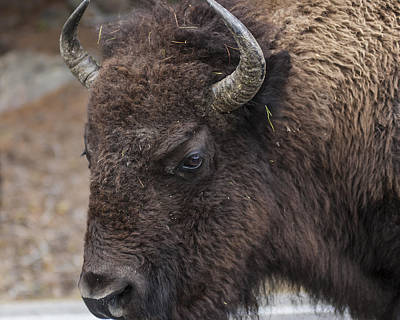 Photograph - Bison by Lee Kirchhevel