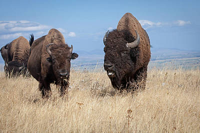 Photograph - Bison Love by Jack Bell
