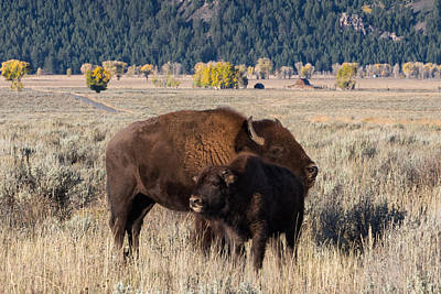 Photograph - Bison Mama With Her Calf by Kathleen Bishop