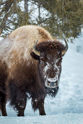 Photograph - Bison by Michael Chatt