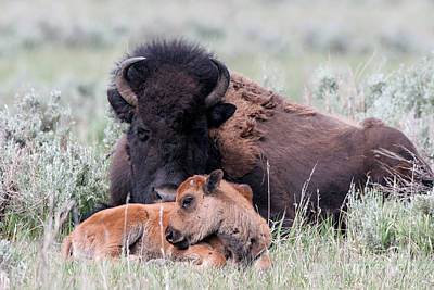 Photograph - Bison Mother And Baby by Martha Marks