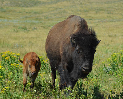 Photograph - Bison Mother And Calf by Dakota Light Photography By Dakota