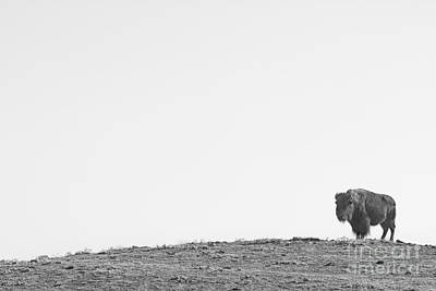 Buffalo Photograph - Bison On A Hill  Bw by James BO  Insogna