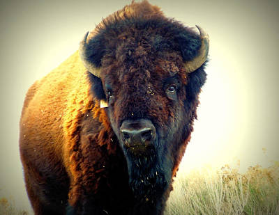 Bison On Antelope Island Art Print by Heidi Manly