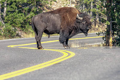 Bison Photograph - Bison On Road Yellowstone National Park by Tom Norring