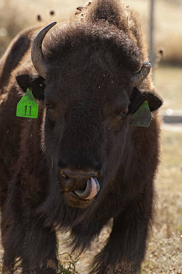 Buffalo Photograph - Bison One Horn Tongue In Nose by Melany Sarafis