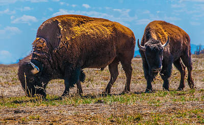 Photograph - Bison Pair_1 by Tom Potter