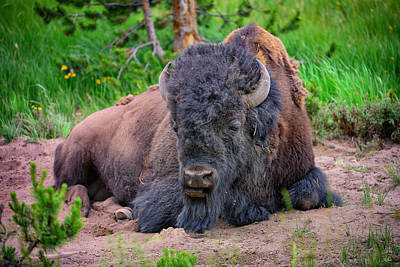 Bison Photograph - Bison Portrait by Greg Norrell