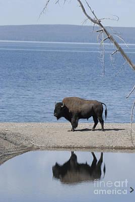 Bison Reflecting Art Print by Bob Dowling