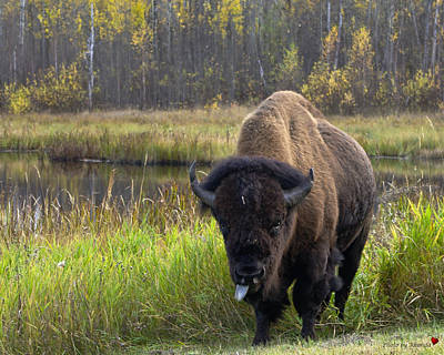 Art Print featuring the photograph Bison by Rhonda McDougall