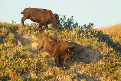 Bison Photograph - Bison Running Down Embankment by Chuck Haney