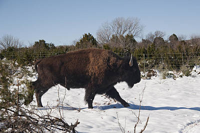 Bison Running In Snow Print by Melany Sarafis