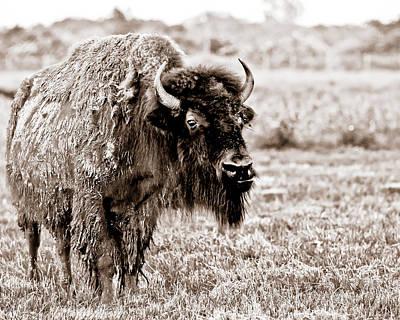 Photograph - Bison by Sennie Pierson