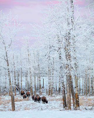 Bison Walking In The Early Morning Art Print by Ron Harris