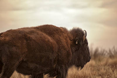 Photograph - Bison Walking Into The Sunset by Melany Sarafis