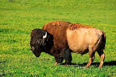 Photograph - Bison by Walt Sterneman