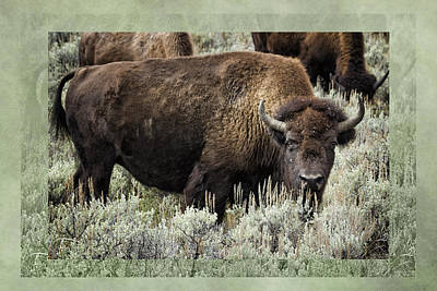 Photograph - Bison With Border - Yellowstone by Belinda Greb