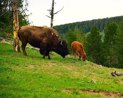 Photograph - Bison With Calf by Walt Sterneman