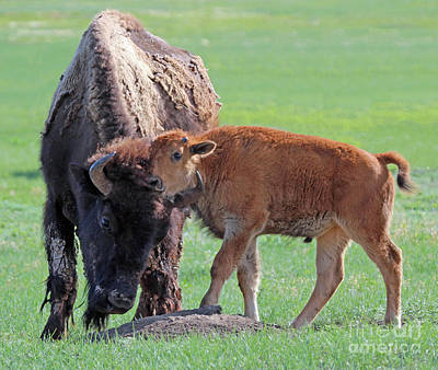 Print featuring the photograph Bison With Young Calf by Bill Gabbert