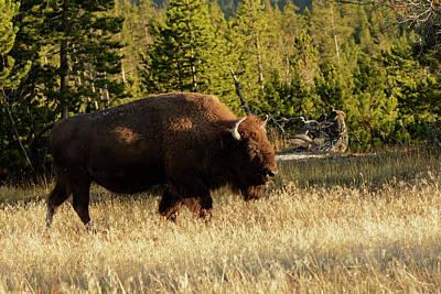 Bison Photograph - Bison, Yellowstone National Park by Adam Jones