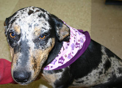 Catahoula Photograph - Bitsy by Nina Fosdick