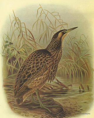 Coulor Painting - Bittern by Rob Dreyer