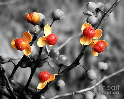 Of Bittersweet Photograph - Bittersweet Berries by Sharon Woerner