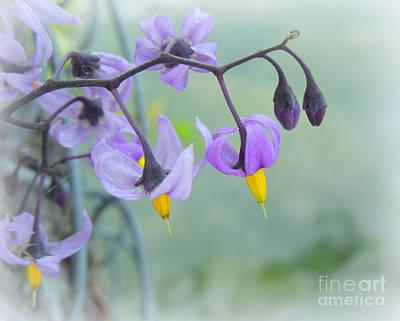 Solanum Dulcamara Photograph - Bittersweet Nightshade by Heidi Manly