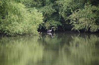 Blue Herron Photograph - Blue Herron On A Green Lake by Bill Cannon