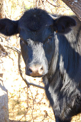 Blac Angus Heifer Art Print by Thea Wolff