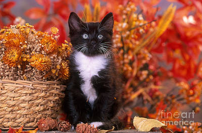 Photograph - Black And White Kitten In Autumn by Alan and Sandy Carey