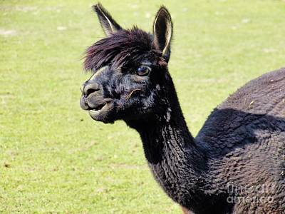 Photograph - Black Alpaca by Judy Via-Wolff