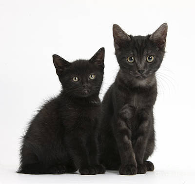 House Pet Photograph - Black And Black Smoke Kittens by Mark Taylor