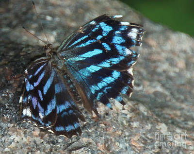 Photograph - Black And Blue Butterfly On Granite by Bill Woodstock