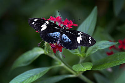 Photograph - Black And Blue Butterfly by Vanessa Valdes