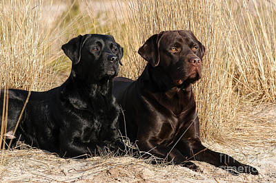 Photograph - Black And Brown Labrador Retriever Dogs Lying In Reed by Dog Photos