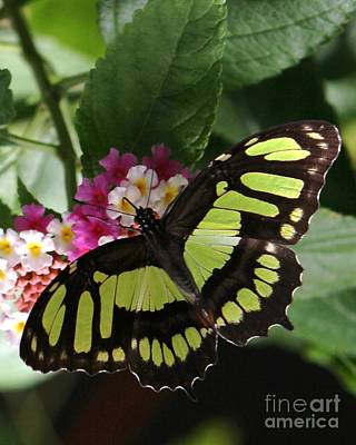 Photograph - Black And Green Butterfly On Flowers by Bill Woodstock