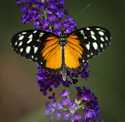 Photograph - Black And Orange Butterfly  by Saija  Lehtonen