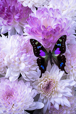 Chrysanthemum Photograph - Black And Purple Butterfly On Mums by Garry Gay