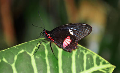 Butterfly Photograph - Black And Red by Aimee L Maher Photography and Art Visit ALMGallerydotcom