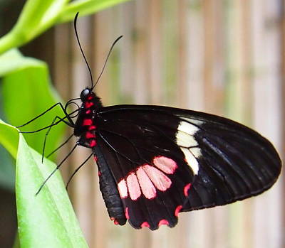 Black And Red Cattleheart Butterfly Art Print by Amy McDaniel